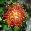 Red Burst - San Francisco Botanical Gardens