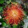 Red Burst - San Francisco Botanical Gardens