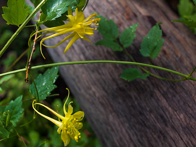 Yellow Columbine, West Fork, Oak Creek
