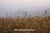 Foggy Cornfield, Crawford County, Wisconsin