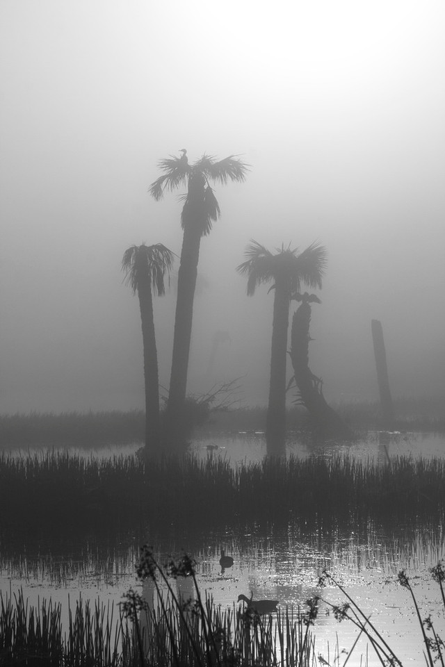 3794 Another monochrome, this one of the group of trees to the right in the previous photo. A great blue heron stirs in its nest in the top of the tallest palm, and an anhinga dries its wings on top of the curved palm trunk toward the right. The wetlands are waking up.