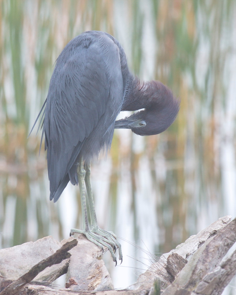 "3844 A little blue heron stands on fallen palm debris and preens itself. Note its eye, which looks like it is lowering its eyelid to peer at me, except that its head is upside down and the ""eyelid"" covers the lower, rather than the upper, part of its eye. I can't do that. And again, the fog softens the light, creating a mood different from that of the usual heron photo. It was a great morning to be out capturing special light. I loved it."