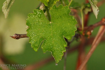 Grapevine leaf with dew droplets, DSC_0163.