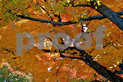 More New England fall foliage, on a beautiful old Oak