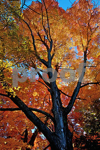 Fall foliage on a strong Oak