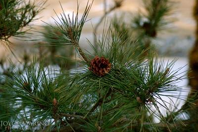 Pine Cone DSC_0050