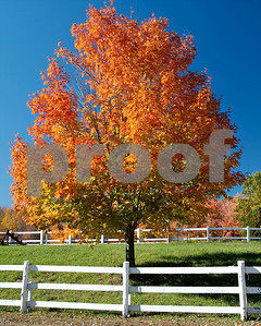 Maple tree in a pastoral setting, Westford
