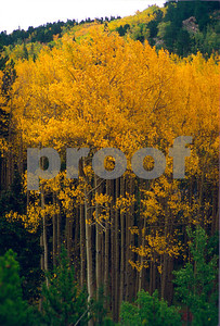 Aspens turn a beautiful golden color in the Fall