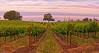 vinyard oak copy