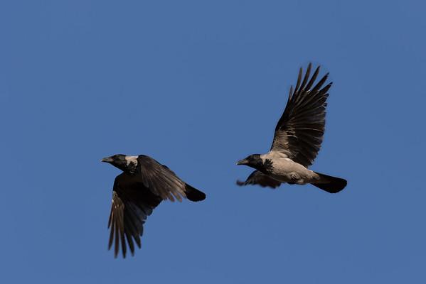 Krager