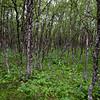 Høgstaudebjørkeskog med bjørk (Betula pubescens) og tyrihjelm (Aconitum septentrionale)