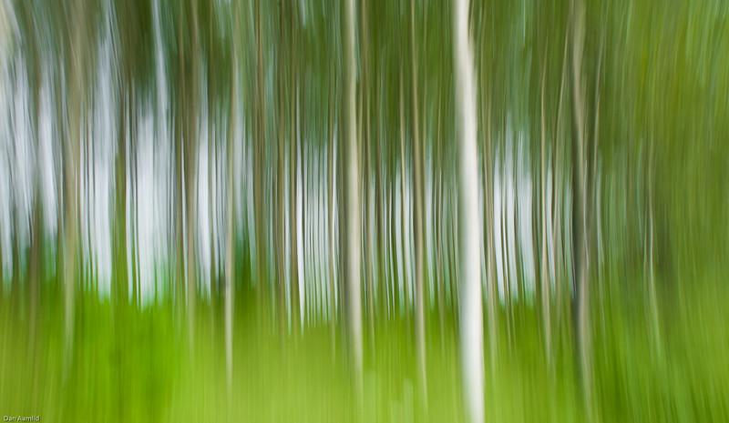 Bjørkeskog