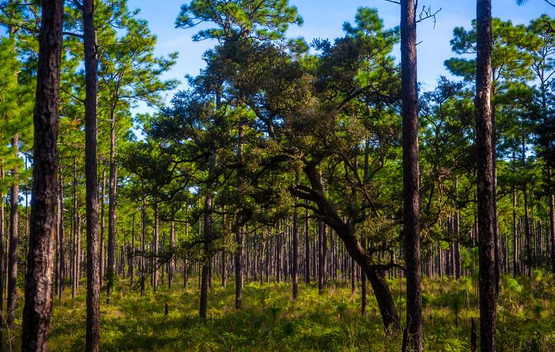 Ocala NF, Paisley Wood Trail
