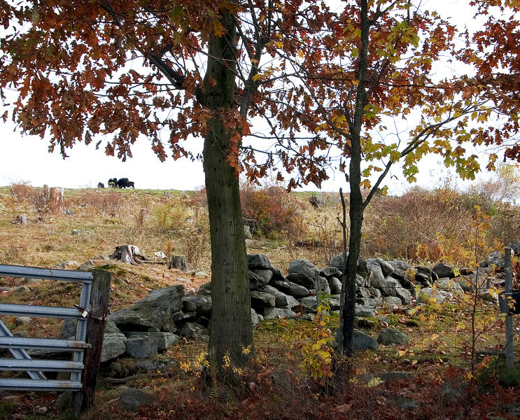 Stone wall keeps in the cows on a New England farm