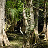 Tropical cypress  provide a home for this Florida egret