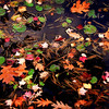 Colorful Fall leaves float on still water on Harvard Pond in Massachusetts