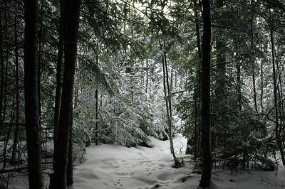 Snowy Woods of Mt Washington