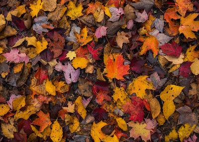 Wet Autumn Leaves Fallen On The Ground