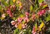 'A'ali'i (Dodonaea viscosa)