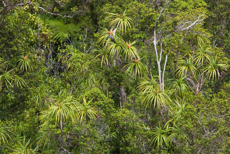 'Ie'ie vines (Freycinetia arborea) entwine with 'Ohia lehua trees (Metrosideros polymorpha).