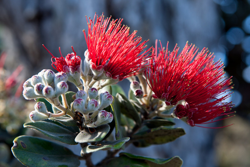 'Ohi'a lehua in the upland morning light.