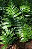 Laua'e (Phymatosorus scolopendria)