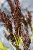 'Uki (Machaerina angustifolia)