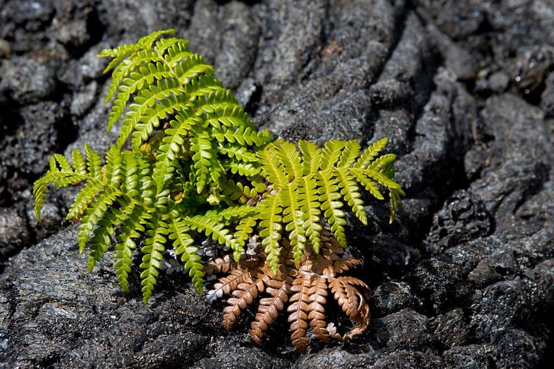 'Ama'u li'ili'i (Sadleria cyatheoides)