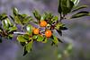 Pilo (Coprosma montana)