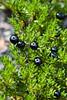 'Aiakanene, Kukaenene (Coprosoma ernodeoides)