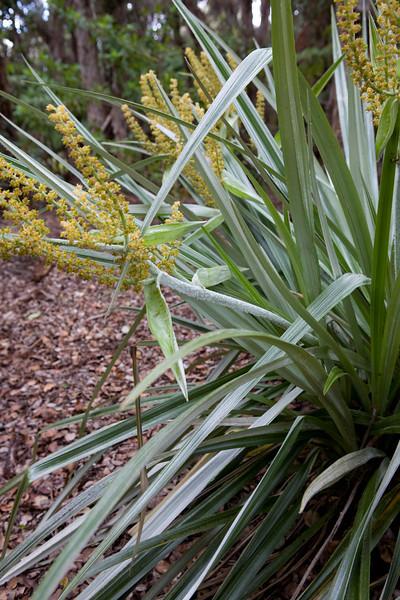 Pa'iniu (Astelia meziesiana)