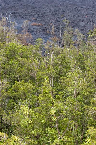 'Ie'ie vines (Freycinetia arborea) climb on 'Ohia lehua trees (Metrosideros polymorpha) near an active lava flow.