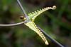 Uluhe (Dicranopteris linearis)