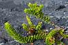 'Ohelo (Vaccinium reticulatum)