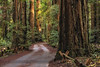 Among the Redwoods