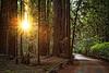 Sun Through the Redwoods