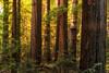 In Huboldt Redwood State Park II