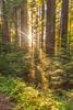 Redwood Grove Sunrise II