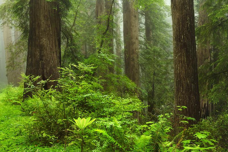 """Fog Redwoods"""