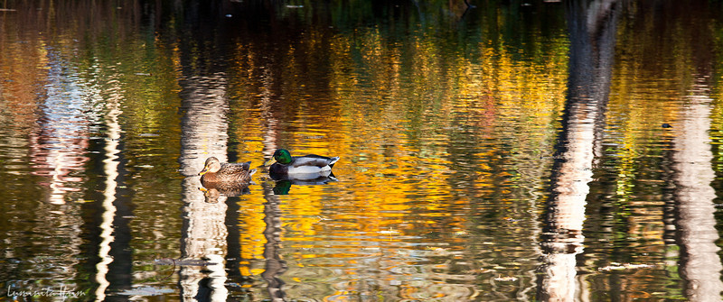 Ducks in the Golden Lake