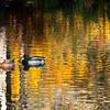 Ducks in the Golden Lake