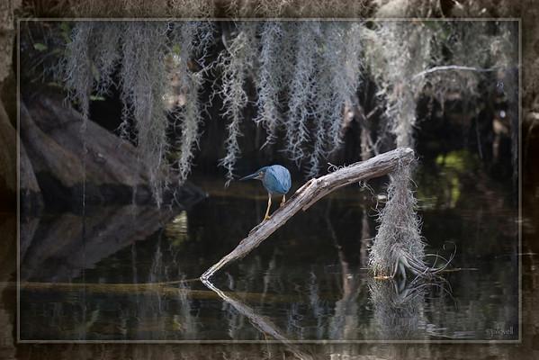 Green Heron: Big Cypress Preserve