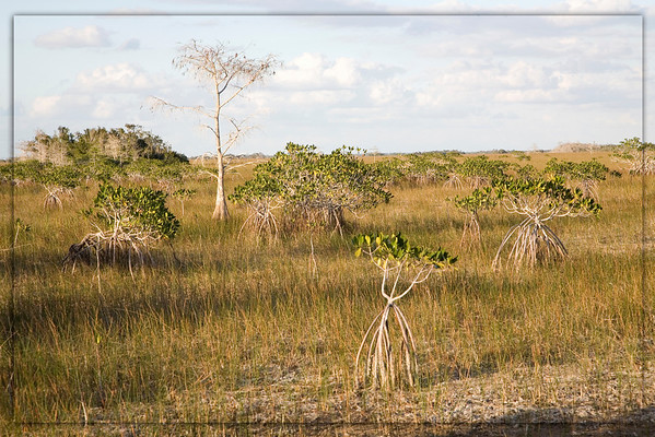 Cypress and Mangrove Community..Everglades Natinal Park