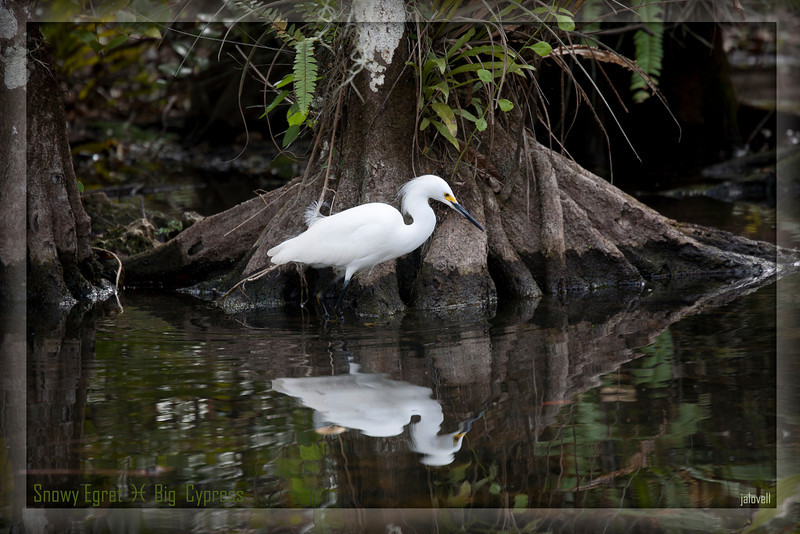 Snowy Egret patiently searches for food in the Big Cypress Swamp against a lovely backdrop of fern and tillandsia adorned cypress. It is always beautiful in Florida's wondrous Big Cypress Preserve.