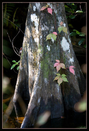 Fakahatchee Strand - Cypress adorned with lovely pastel ivey leaves...a very pretty sight in the swamp which is filled with color and surprises