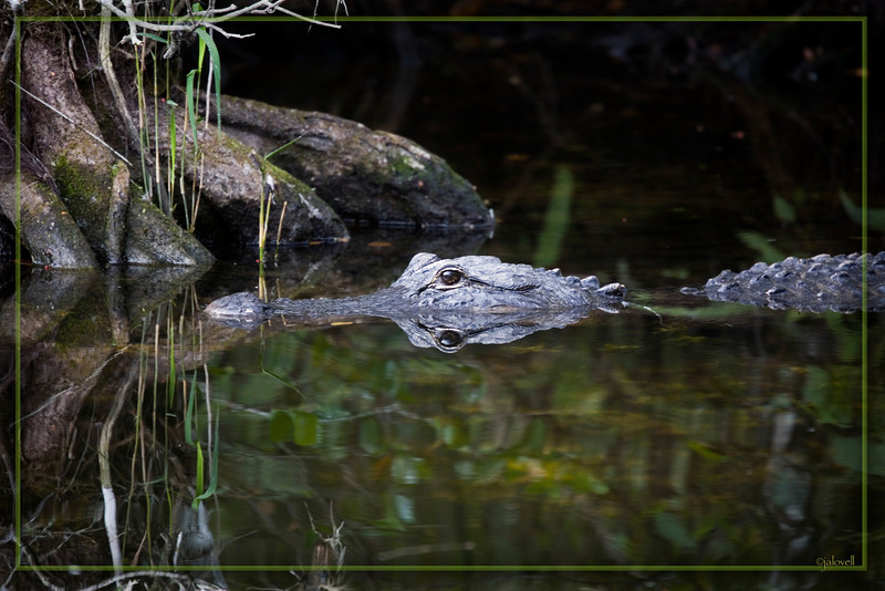 Alligator in the Big Cypress Swamp along Tamiami Trail: The wood-like texture of his snout seems to merge seamlessly with the reflection of the tree...easy to see why alligators blend so well into their habitat.
