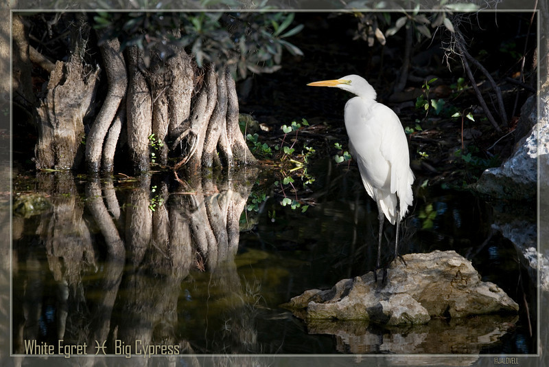 Great White Egret-Lit by morning's light with beautiful reflections of the swamp.