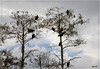 Black vultures atop cypress trees against a break of blue in a gray day.