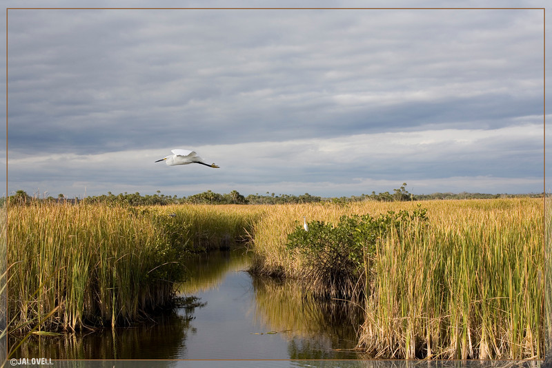A Snowy Egret flys over the grasses of the Big Cypress National Preserve. Temperature was dropping rapidly with the advance of a cold front.