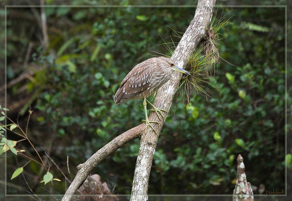 Juvenile Night Heron in the Big Cypress Swamp blending perfectly with the colors around it.